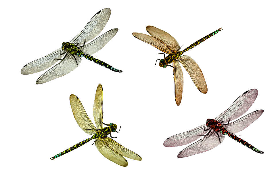 Animal, Dragonfly, Insect, Isolated, Fly, Nature, Close - Dragonfly PNG