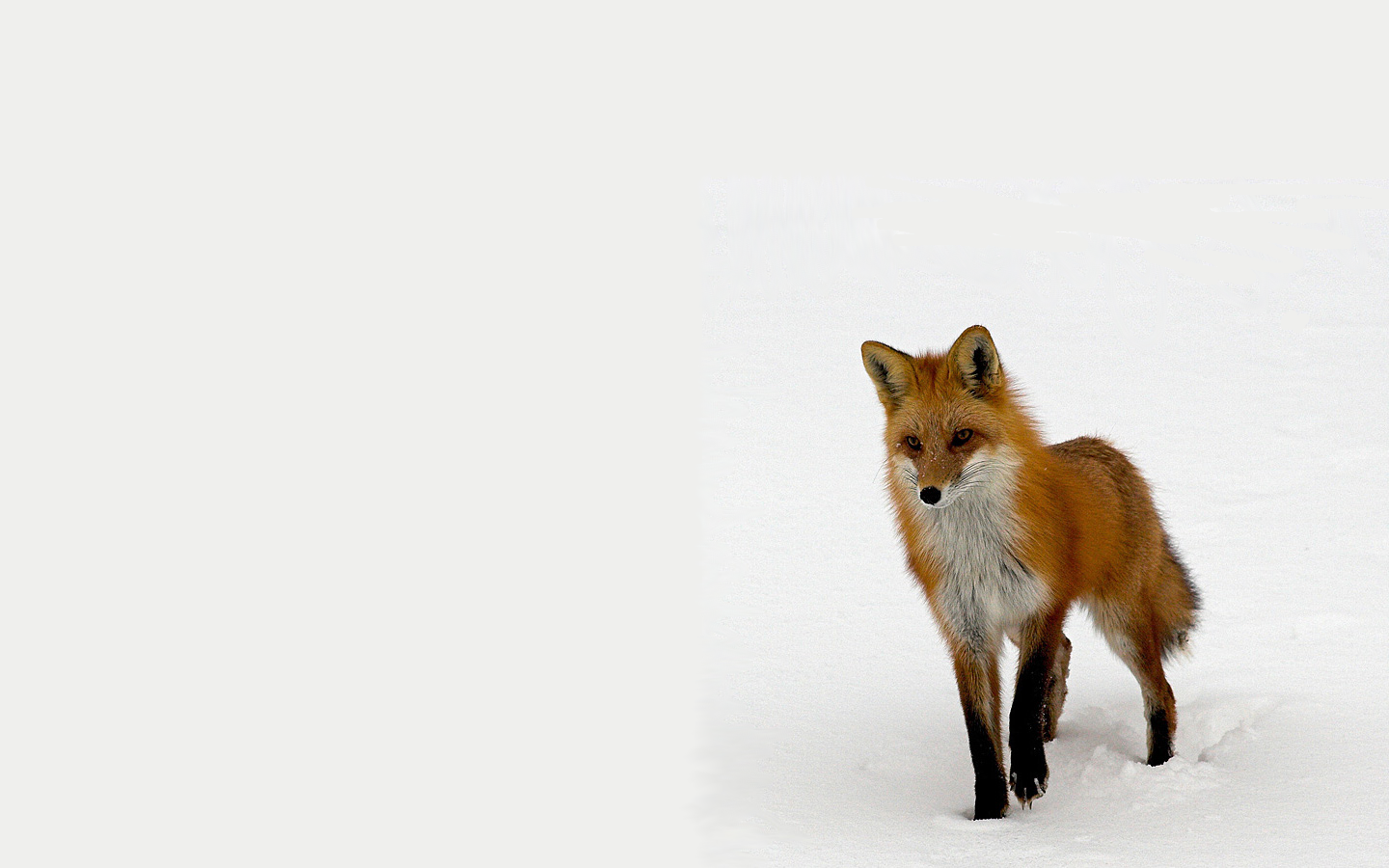 Animal - Fox Animal Wildlife Wallpaper - Animal HD PNG