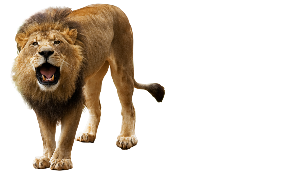 lion png by kasirun-hasibuan PlusPng.com  - Animal HD PNG