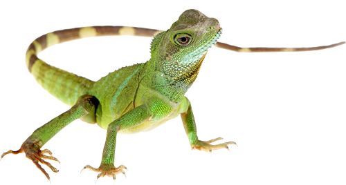 Lizard PNG HD - Animal HD PNG