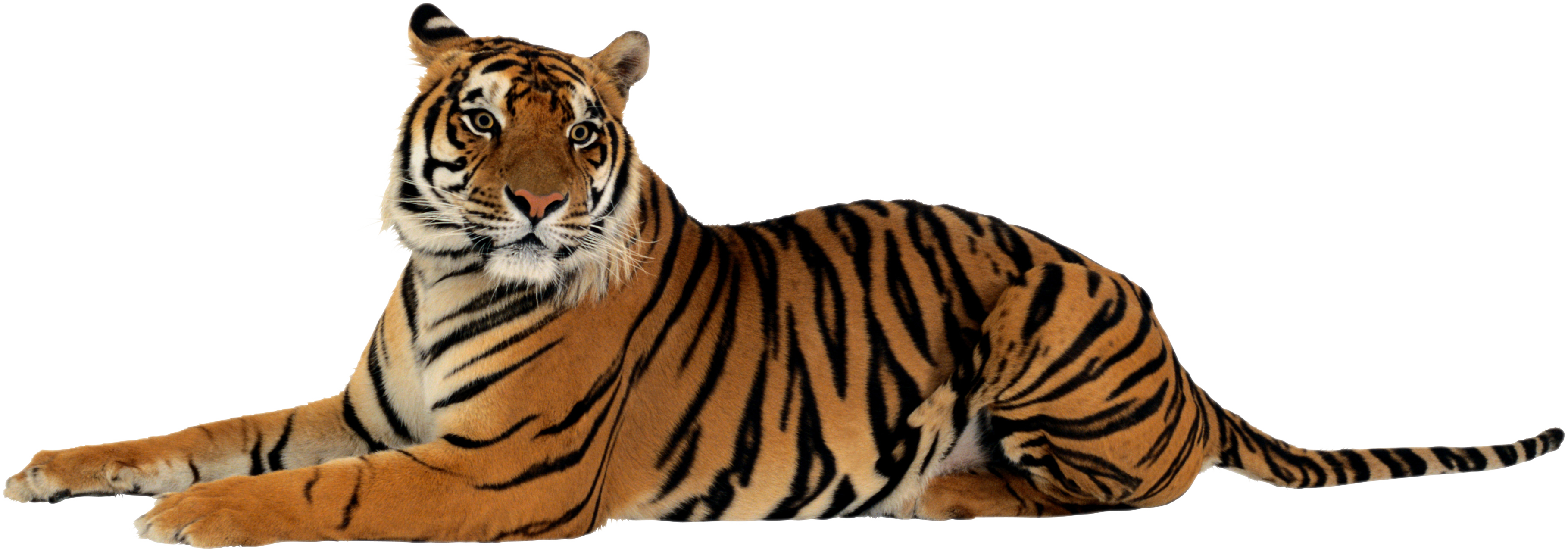 Tiger PNG - Animal HD PNG