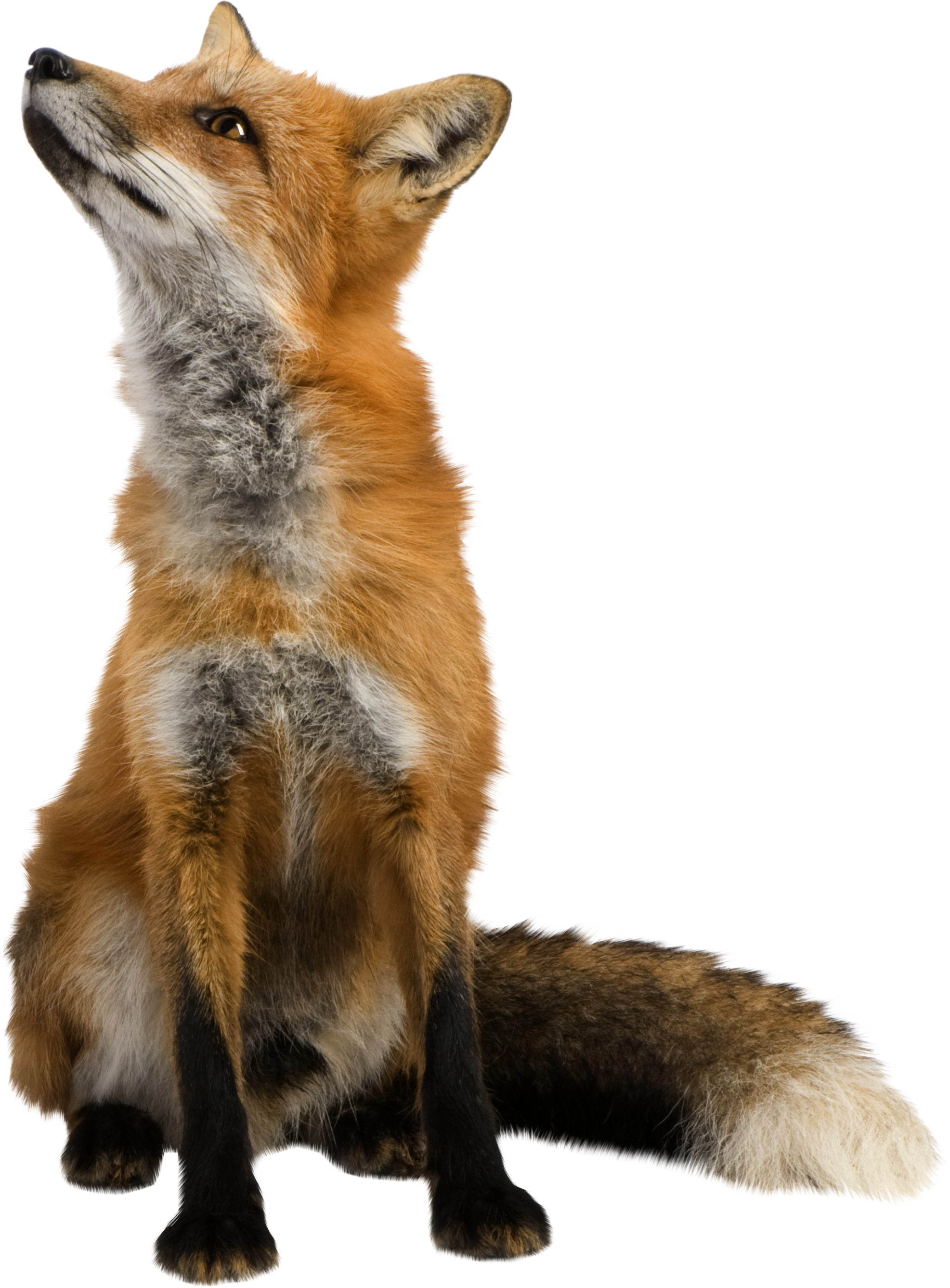Fox PNG - Animal PNG