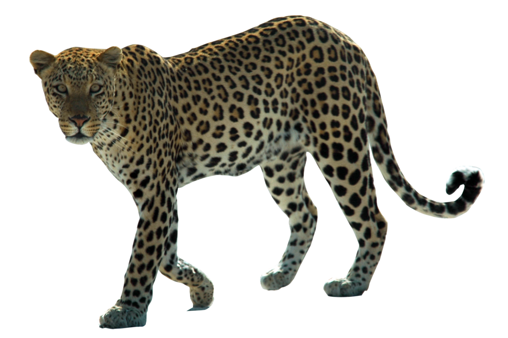 Download PNG image - Leopard Png Hd - Animal PNG HD
