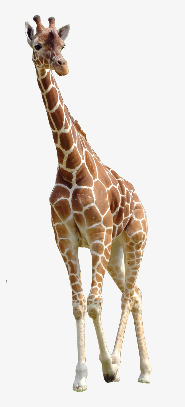 giraffe, Hd, Animal Free PNG Image - Animal PNG HD