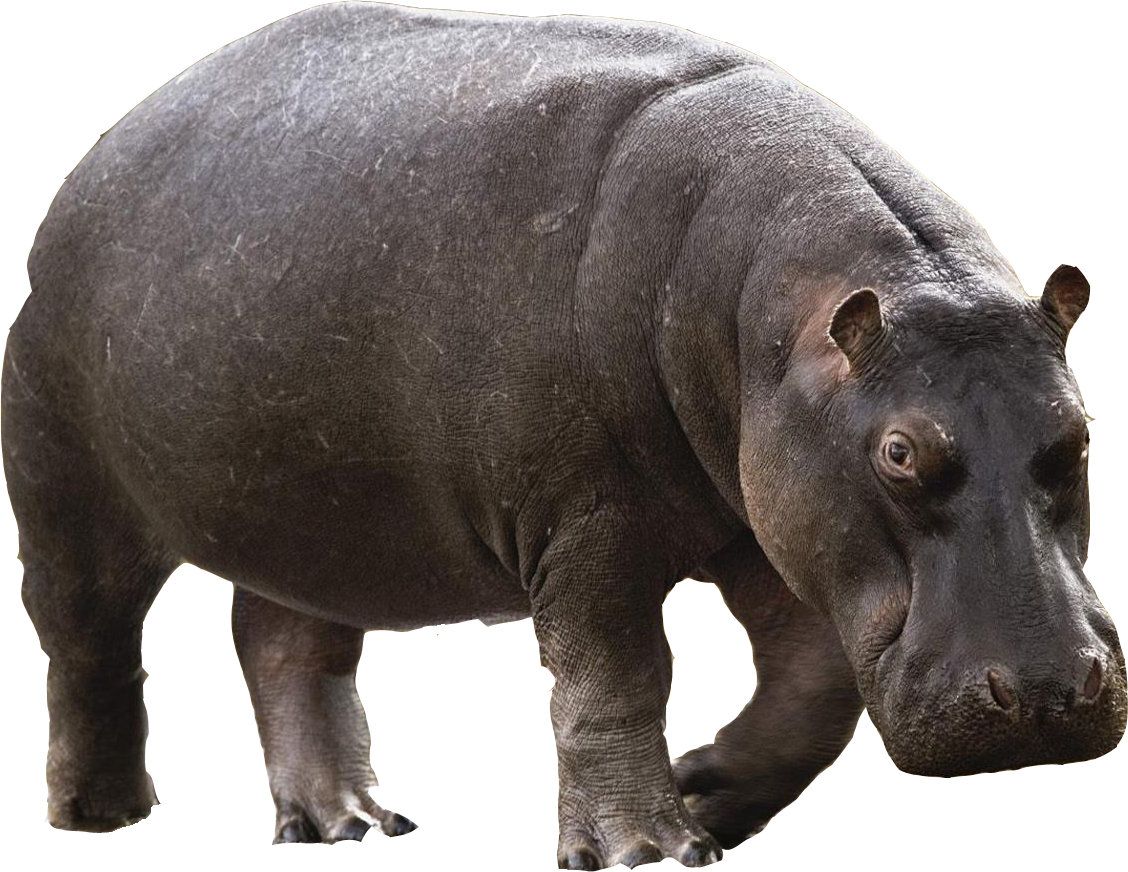 Hippo - Animal PNG HD