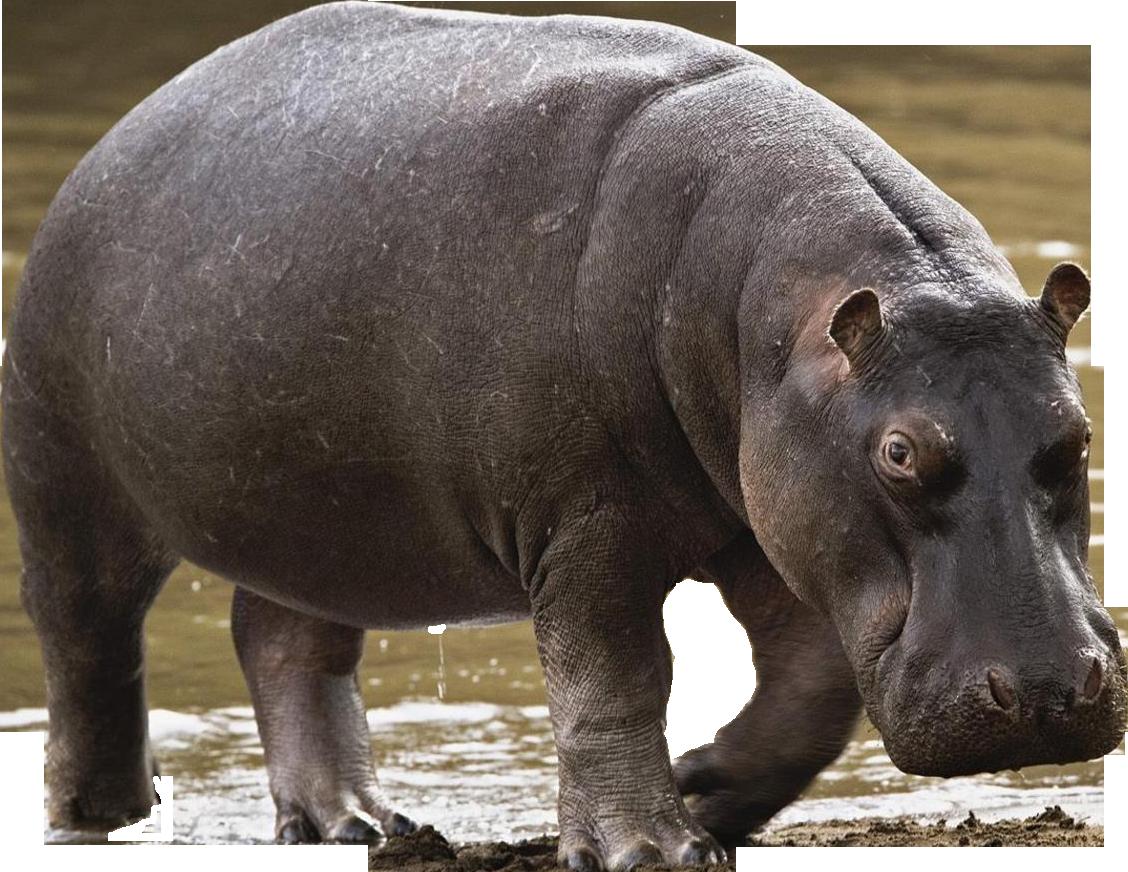 Hippo - Animal PNG HD