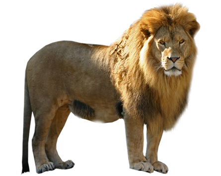 Lion PNG - Animal PNG HD