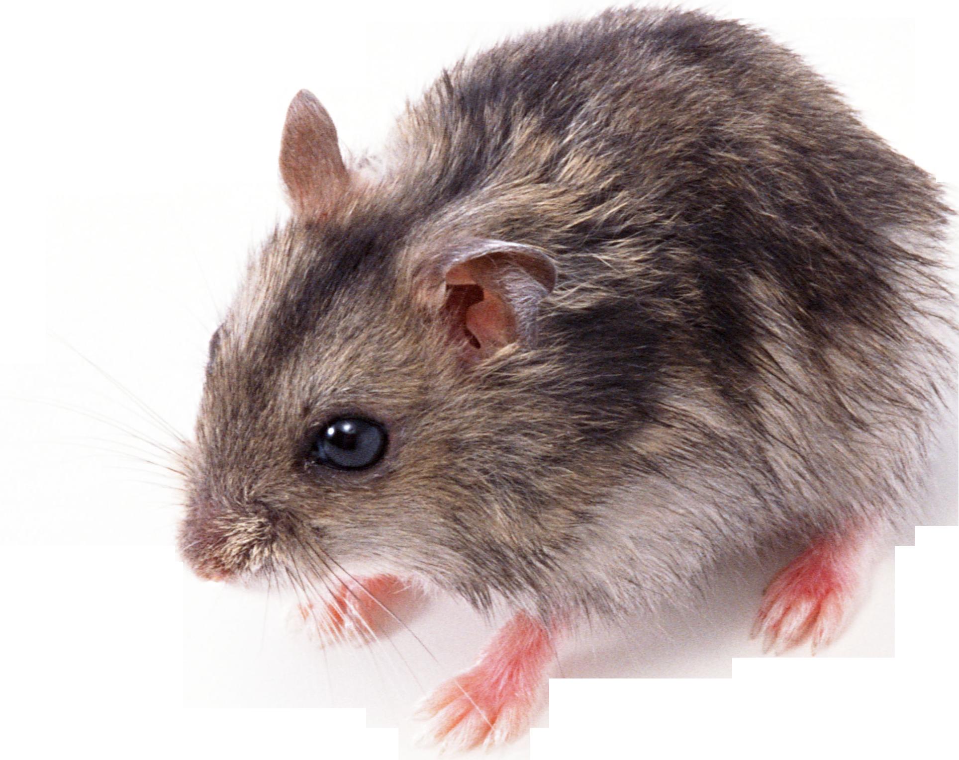 Mouse Animal PNG HD - Animal PNG HD