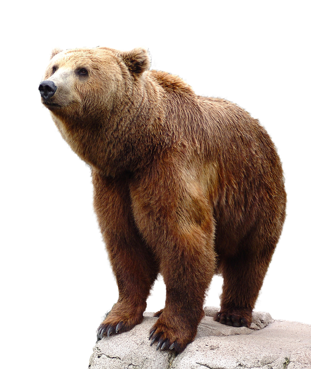 Wild Brown Bear Nature Animal Wildlife Isolated - Animal PNG HD