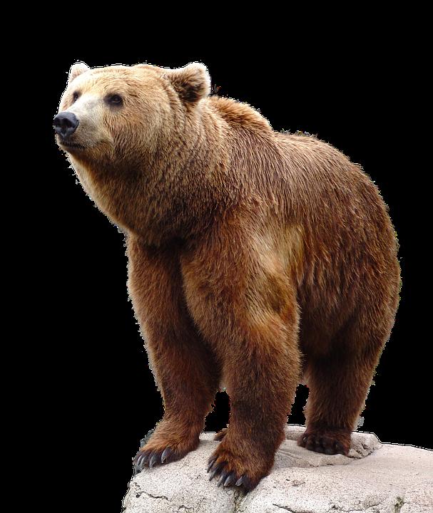 wild brown bear nature animal