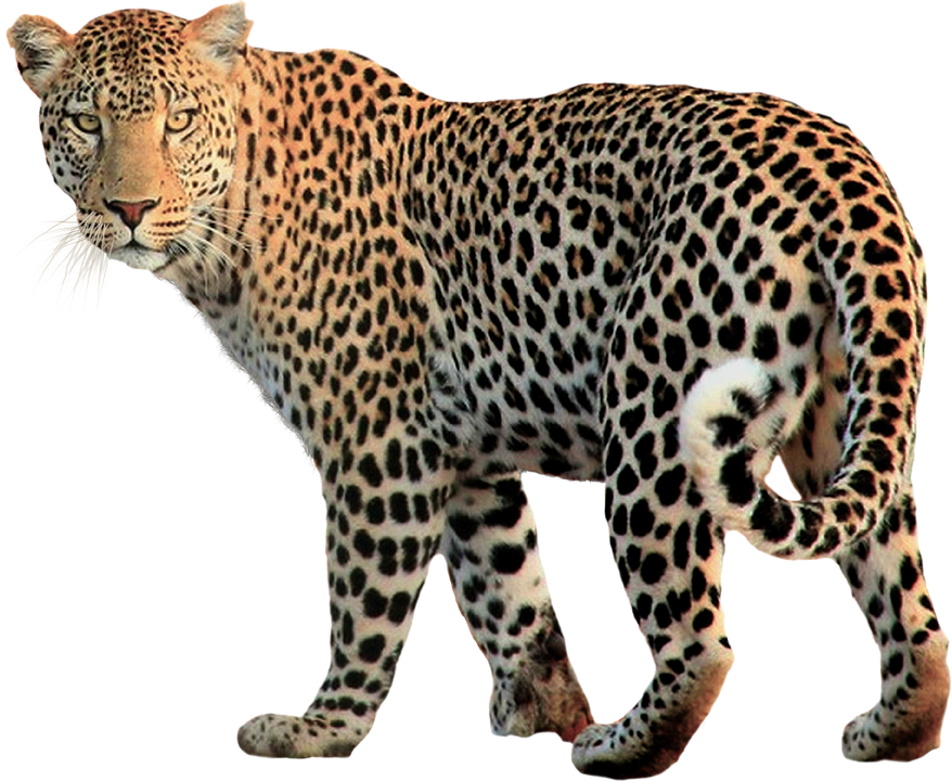 Isolated, Animal, Leopard, Cat, Wild, Background - Animal PNG