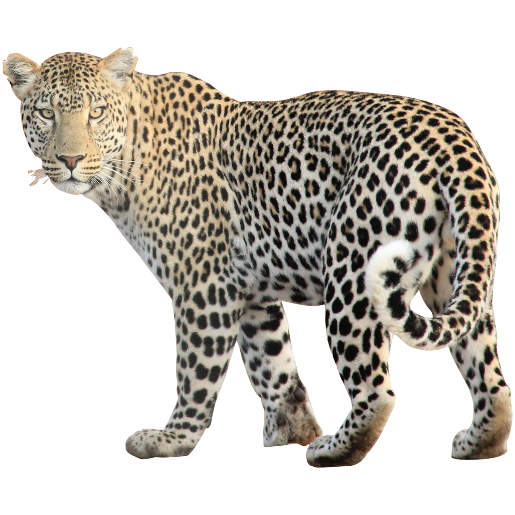 Leopard - Animal PNG