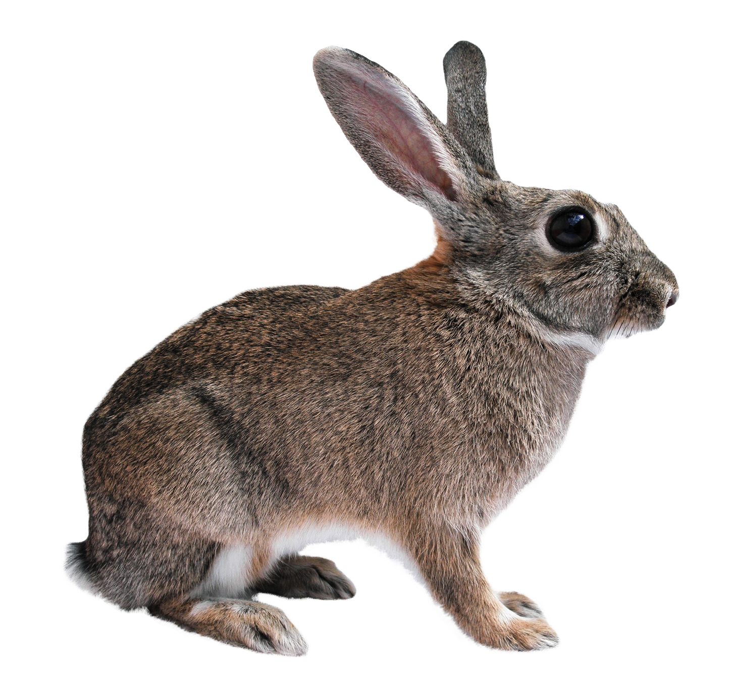Rabbit PNG Transparent Image - Animal PNG