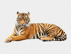 Tiger PNG image - Animal PNG