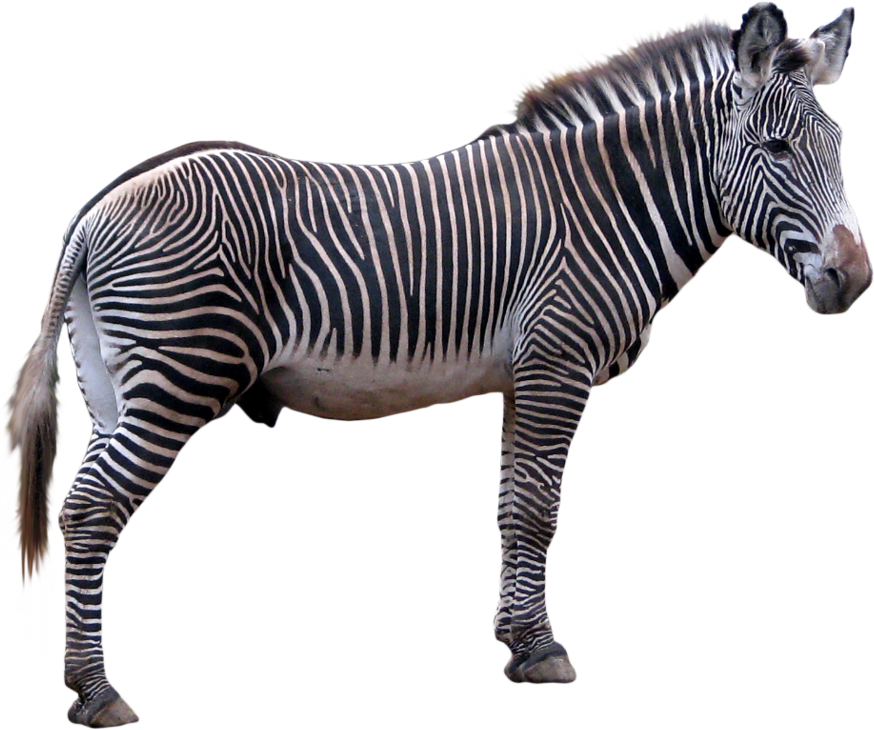 Zebra PNG - Animal PNG