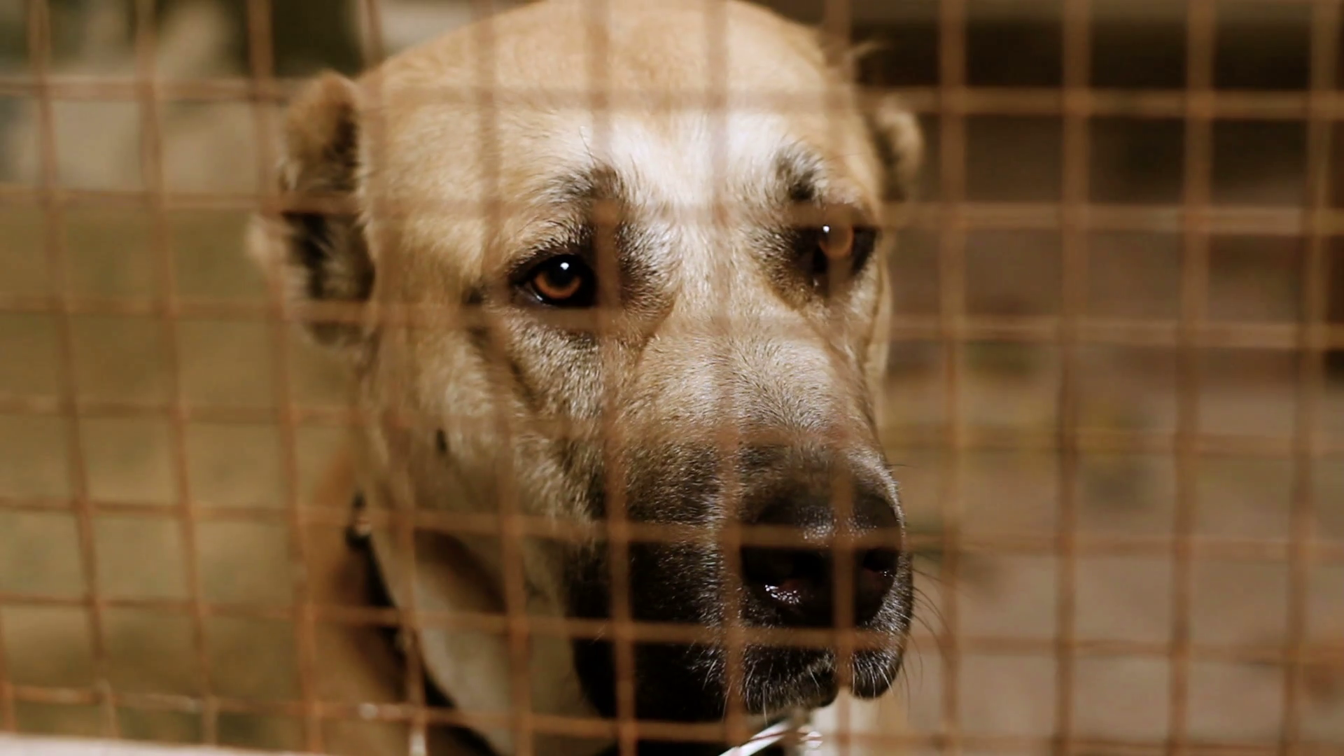 Homeless Central Asian shepherd dog behind bars in an animal shelter. HD  Stock Video Footage - VideoBlocks - Animal Shelter PNG HD