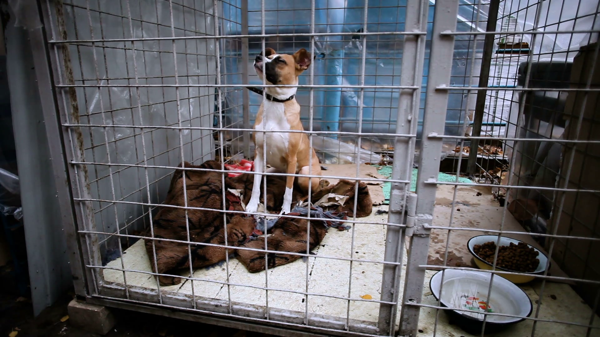 Homeless smooth-haired white with red dog behind bars in an animal shelter.  HD Stock Video Footage - VideoBlocks - Animal Shelter PNG HD