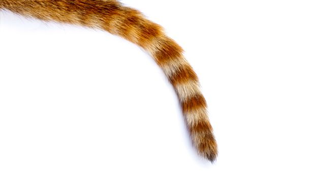 Guess the critter by the tail. - Animal Tail PNG
