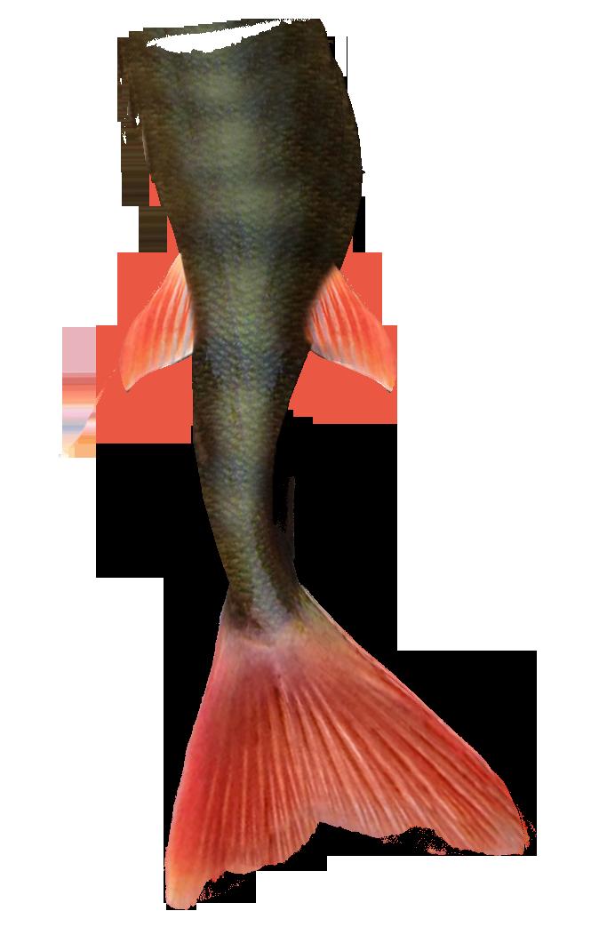 Mermaid Tail PNG Pic - Animal Tail PNG