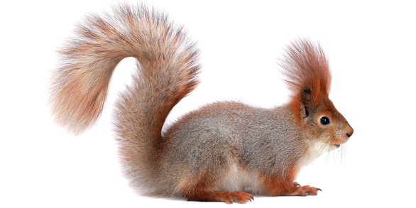 Squirrel Tails PlusPng.com  - Animal Tail PNG