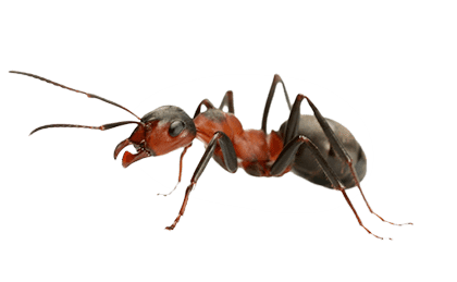 ant PNG - Ant PNG