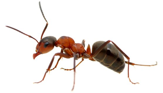 ANT TYPES - Ant PNG