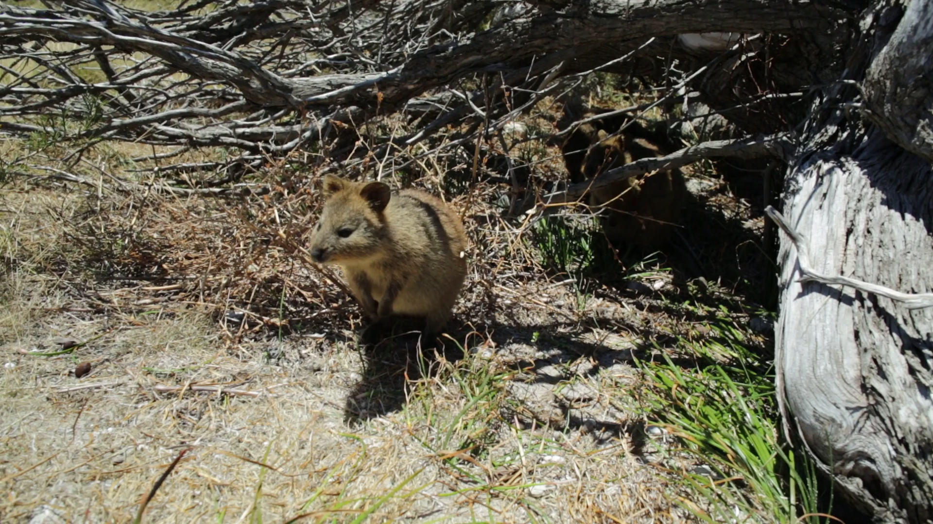 A friendly Quokka on Rottnest Island in a sunny day, Western Australia,  Australia. Quokka is at risk of extinction and is protected. - Australian Animal PNG HD