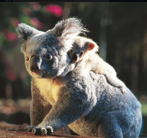 Australia images Koala HD wallpaper and background photos - Australian Animal PNG HD