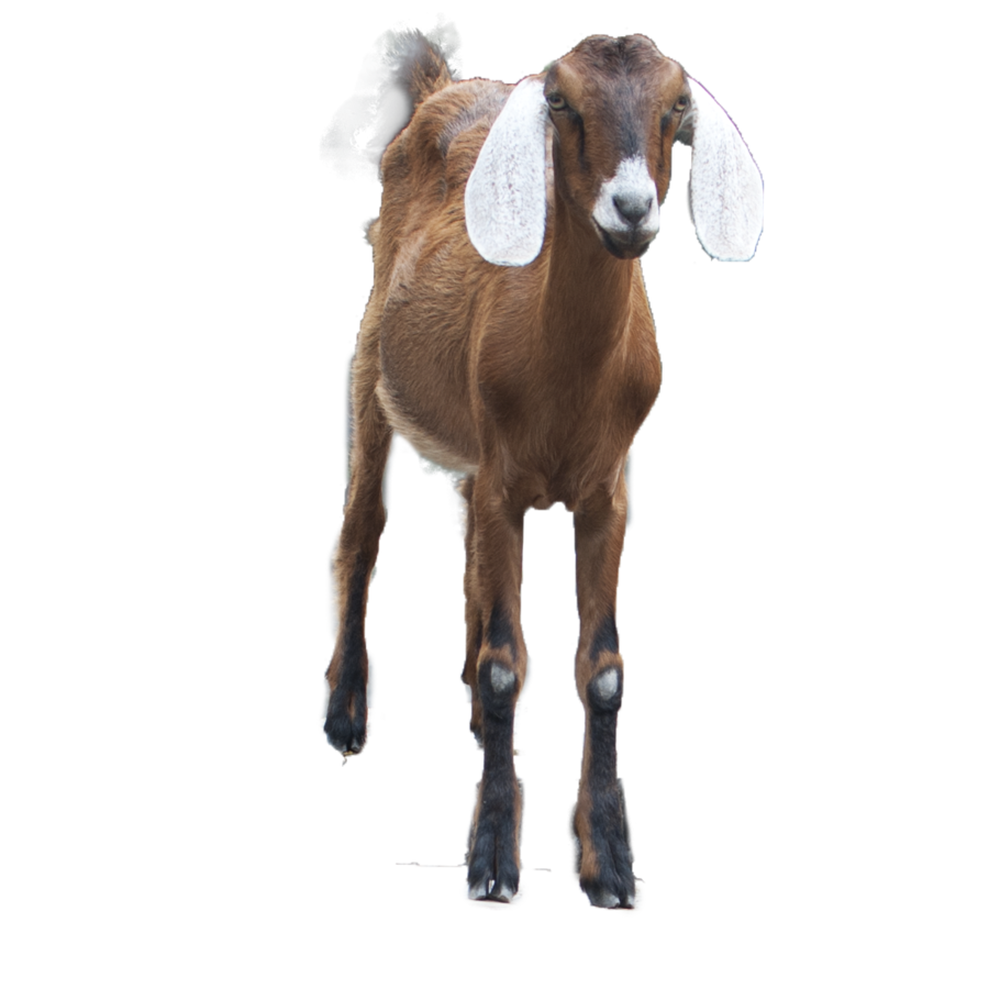 Download PNG image - Goat Png Hd 426 - Australian Animal PNG HD
