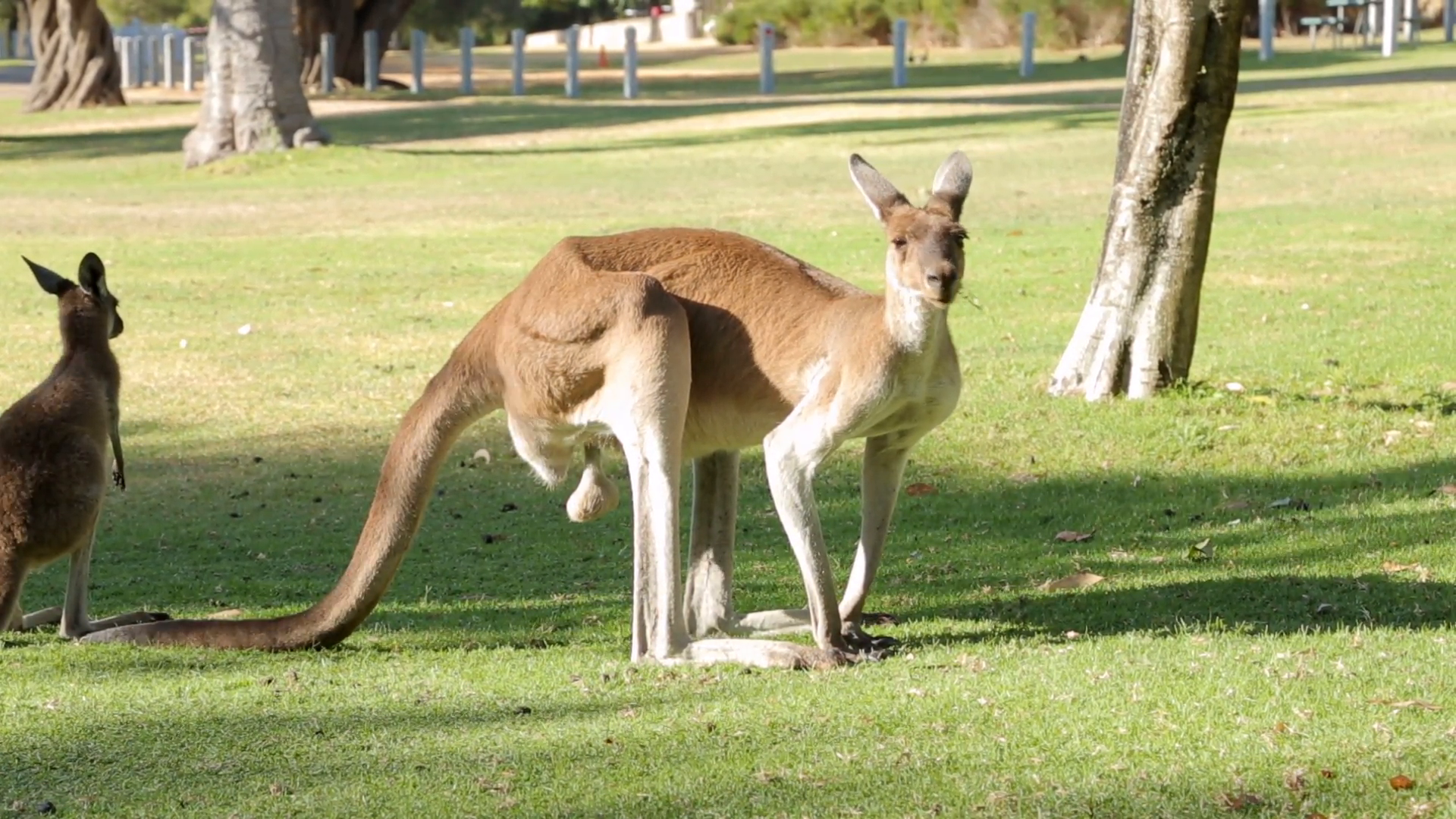 pan of large male kangaroo eats grass, western australia Stock Video  Footage - VideoBlocks - Australian Animal PNG HD