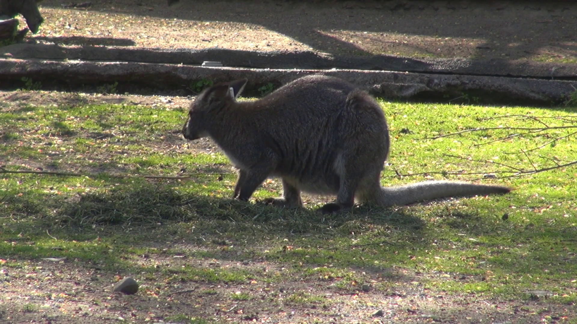 Wild Australian Kangaroo eat green grass adorable animal looking for danger  day Stock Video Footage - VideoBlocks - Australian Animal PNG HD