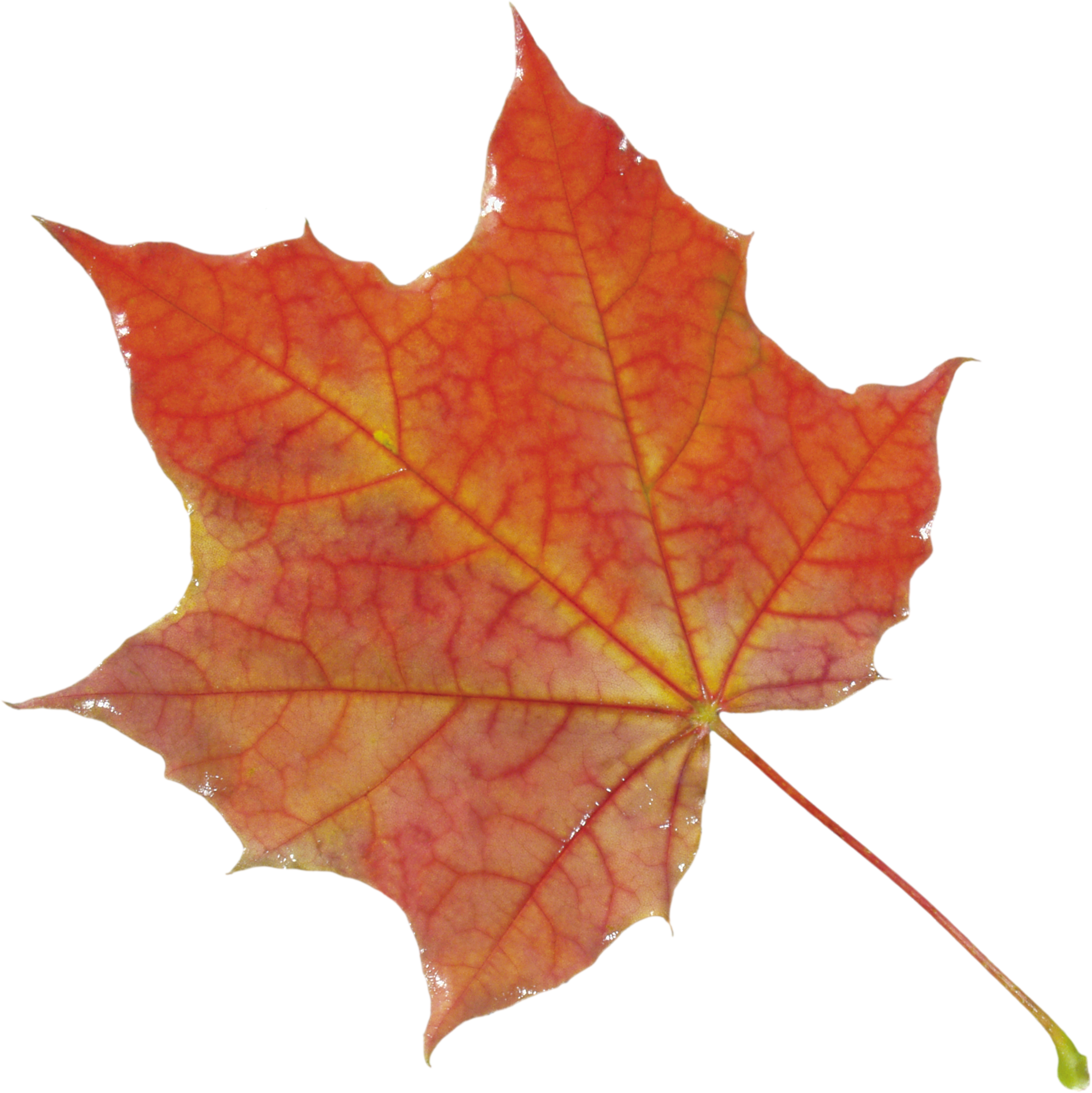 Autumn Leaves HD PNG - 96883