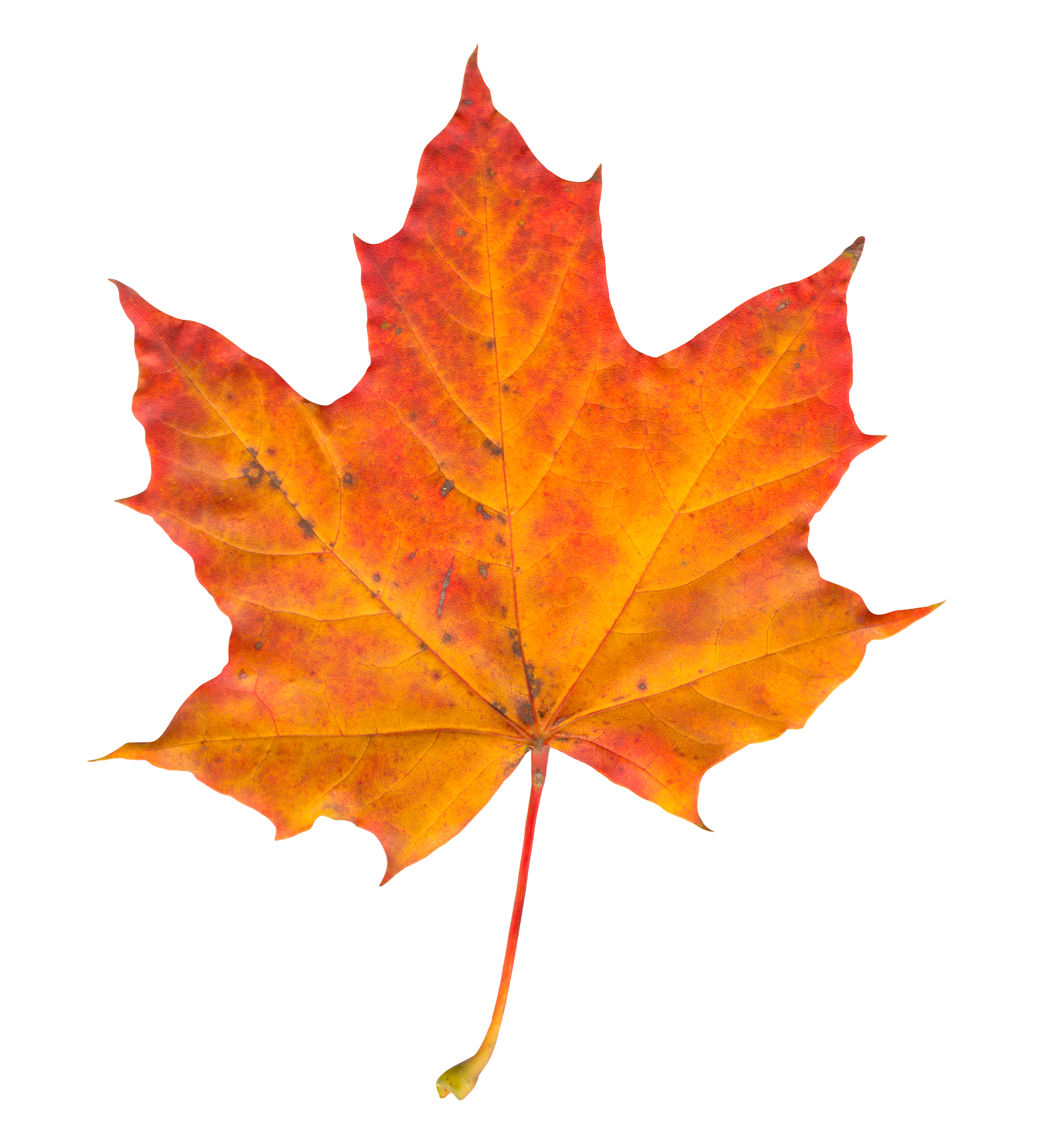 Autumn Leaves HD PNG - 96879
