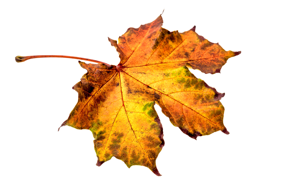 Autumn Leaves HD PNG - 96877
