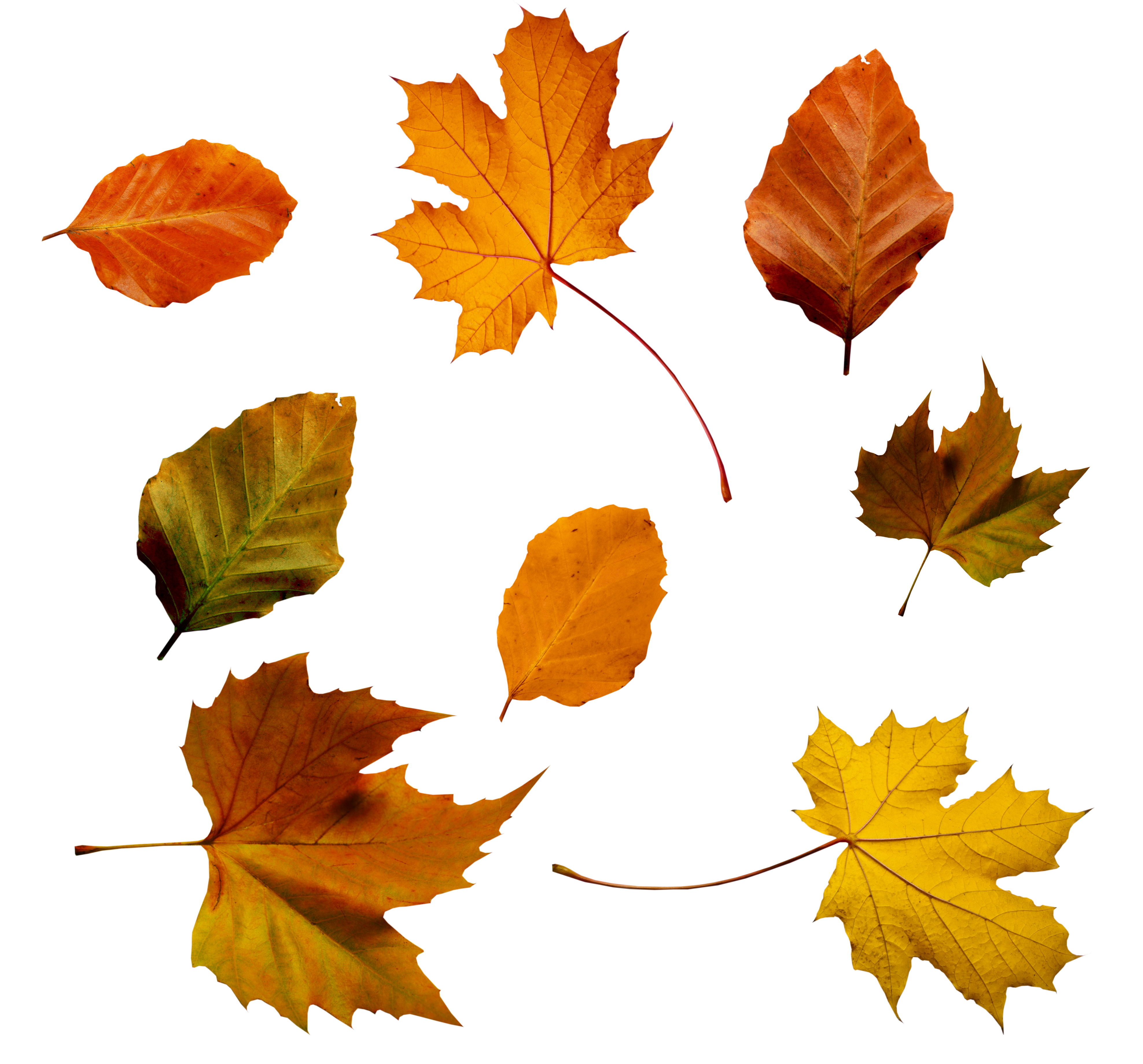 Autumn Leaves HD PNG - 96880