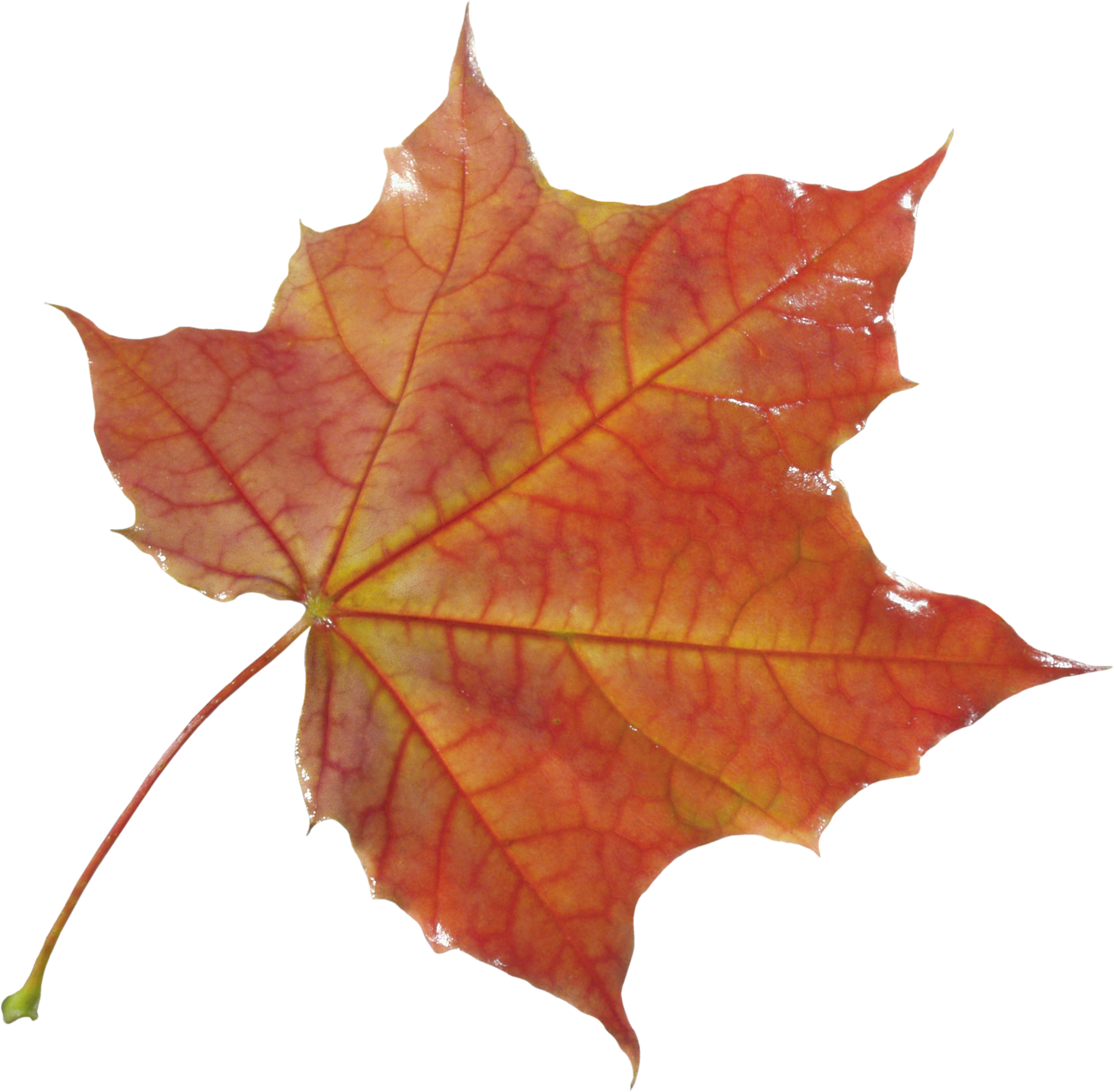 Autumn Leaves HD PNG - 96881