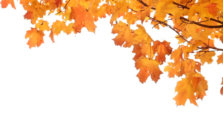 Maple leaves in Autumn isolated on white. Room for your Text. - HD stock - Autumn Leaves HD PNG