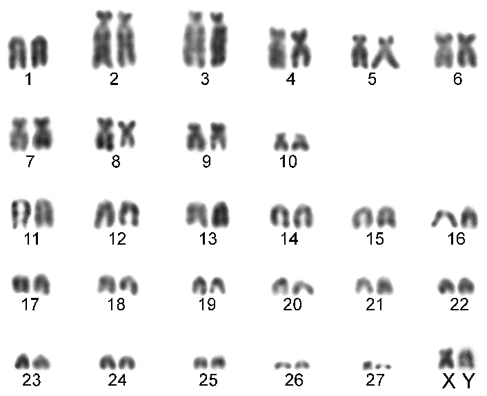 Karyotype of the Turcicus race (2n u003d 56, NF u003d 76) from Babaeski - Babae PNG Black And White