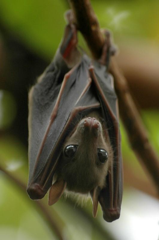 http://i.imgur pluspng.com/1anazja.png - Baby Bat PNG