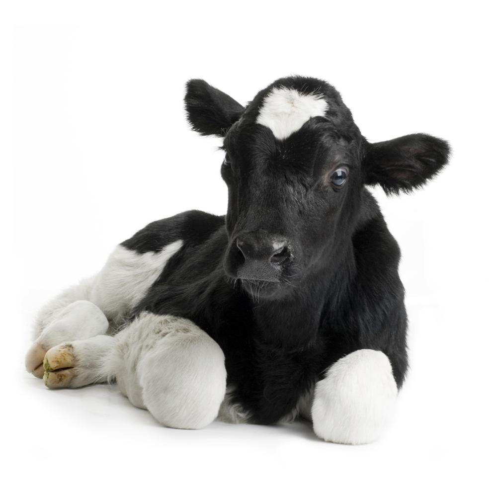 Baby Calf PNG - 138784