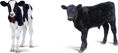 Baby Calf PNG - 138783