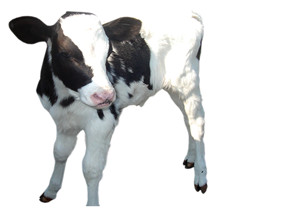 Baby Calf PNG - 138782