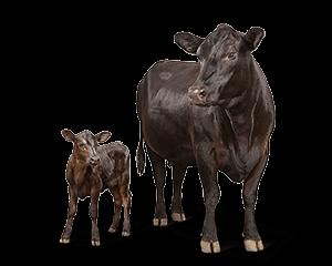 Baby Calf PNG - 138789