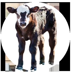 Baby Calf PNG - 138785