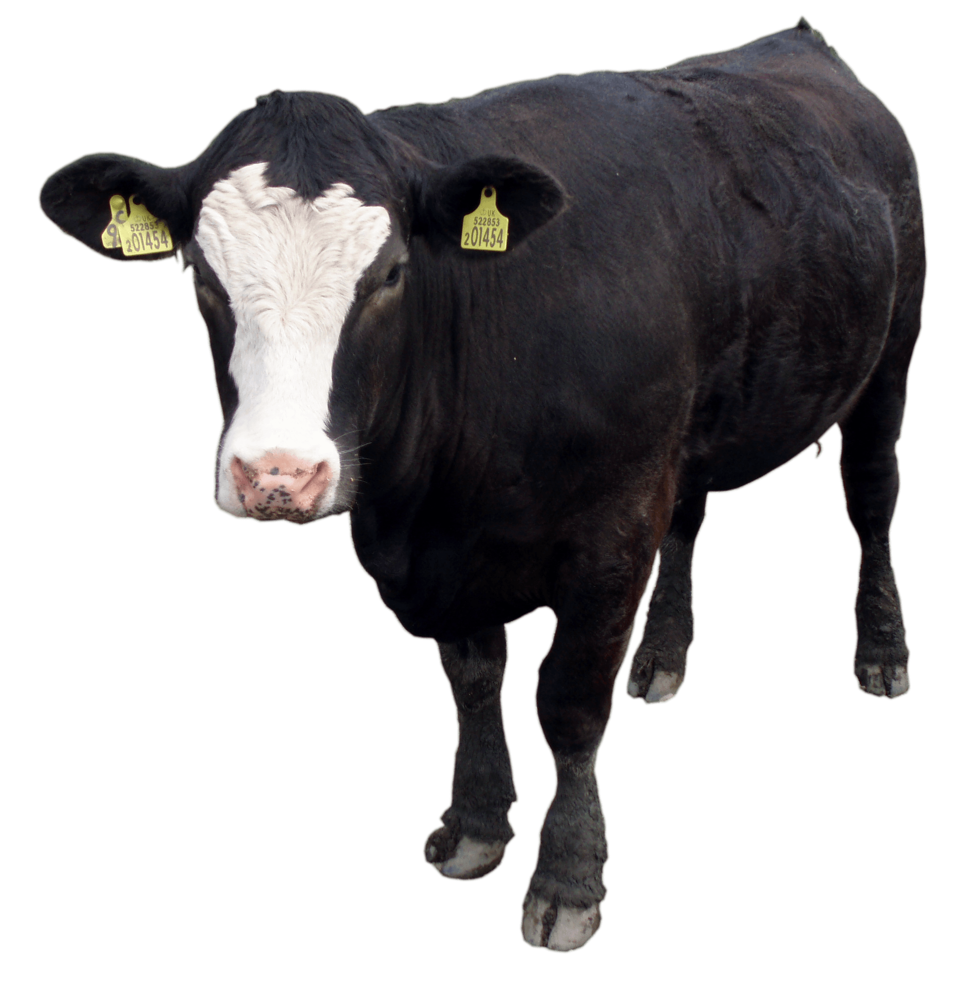 Black Cow Png Image Download Picture PNG Image - Baby Cow PNG HD