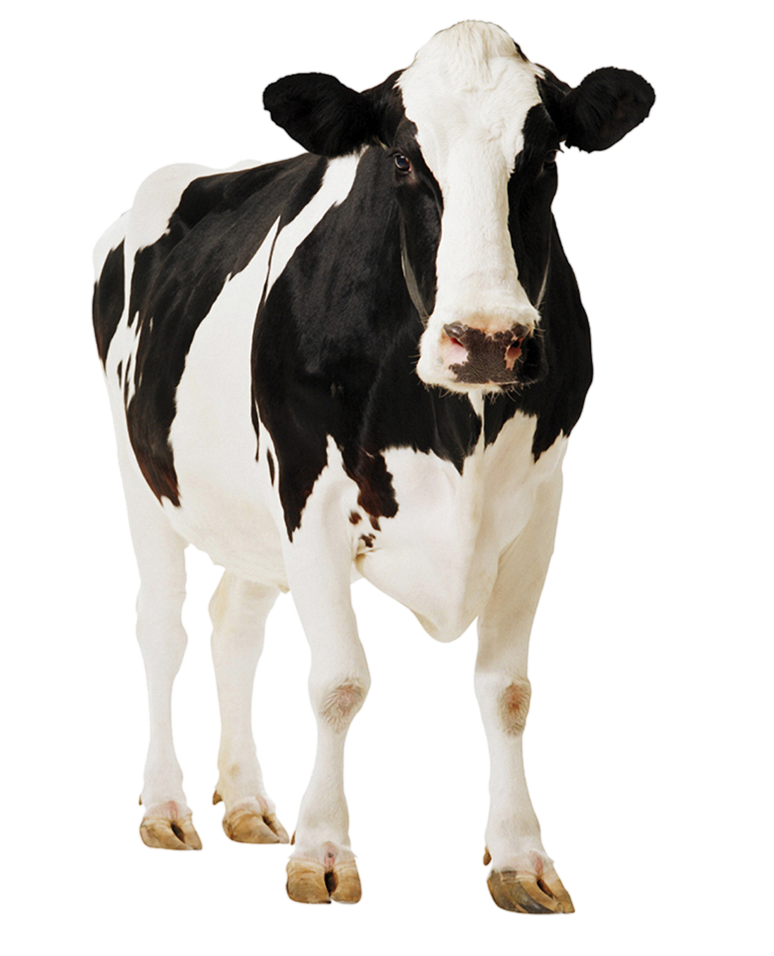 Cow Png Transparent Image - Baby Cow PNG HD