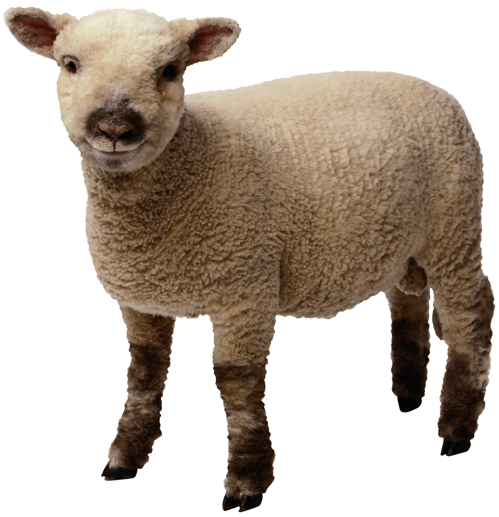 Baby Sheep Standing - Baby Lamb PNG