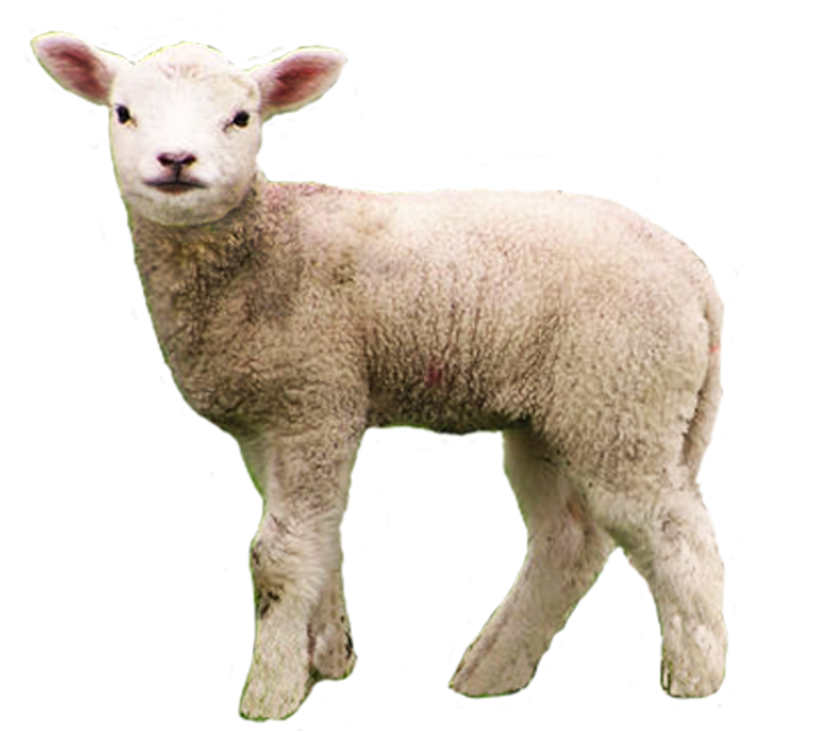 Big Gain offers 2 different options for lambs from birth to 40 days of age  (approximetly 10-40 pounds). - Baby Lamb PNG