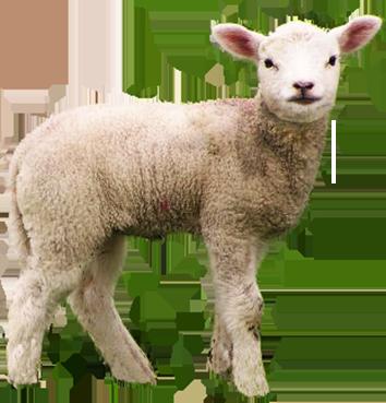 Baby Lamb PNG - 46745