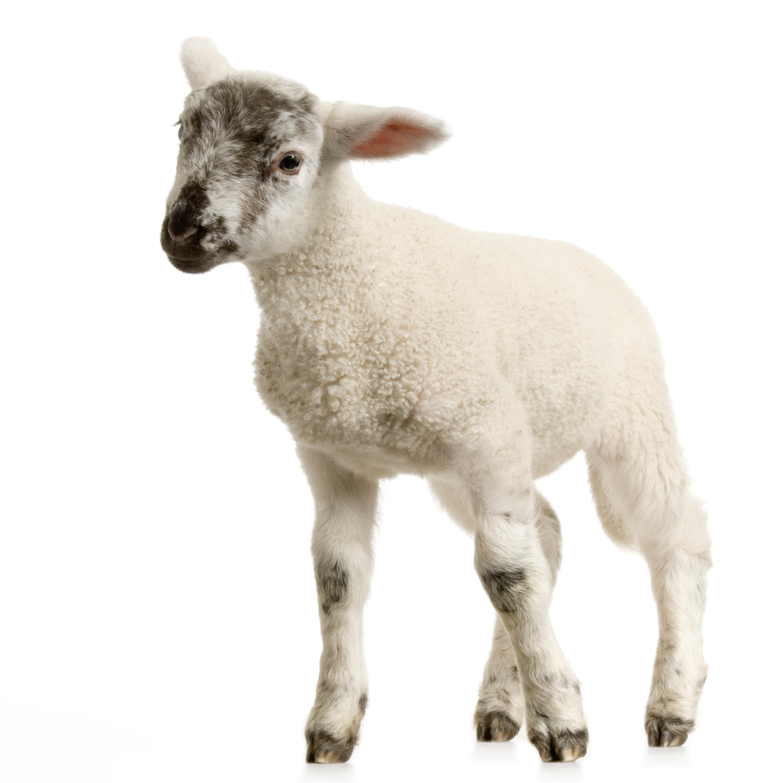 Baby Lamb PNG - 46750